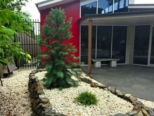 Wollemi pine at Dr Ouyang's practice